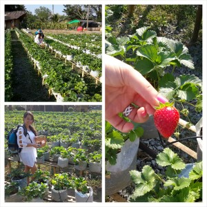 Strawberry Field - Chiang Mai, Thailand