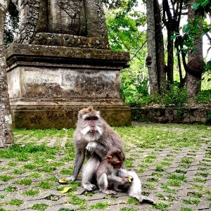long tailed macaques in Sacred Monkey Forest Ubud